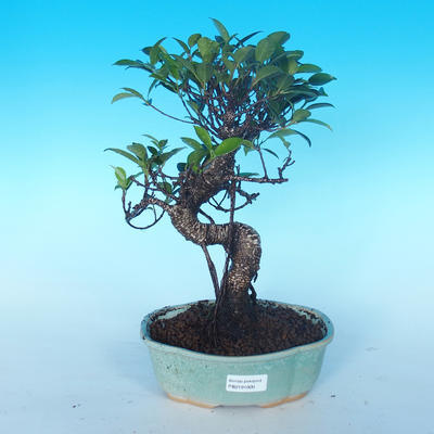 Indoor bonsai - Ficus retusa - small ficus - 1