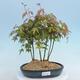 Pinus parviflora - Small-flowered Pine VB2020-120 - 1/3