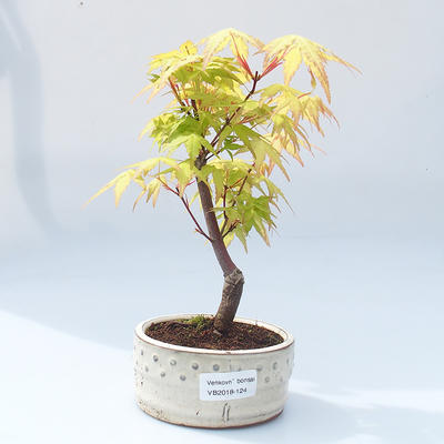 Outdoor bonsai - Acer pal. Sango Kaku - Auburn Maple