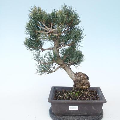 Pinus parviflora - Small Pine VB2020-127 - 1