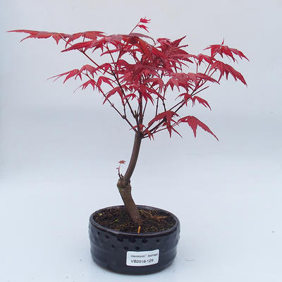 Outdoor bonsai - Maple tree - Acer palmatum DESHOJO - 1