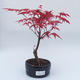 Outdoor bonsai - Maple tree - Acer palmatum DESHOJO - 1/2