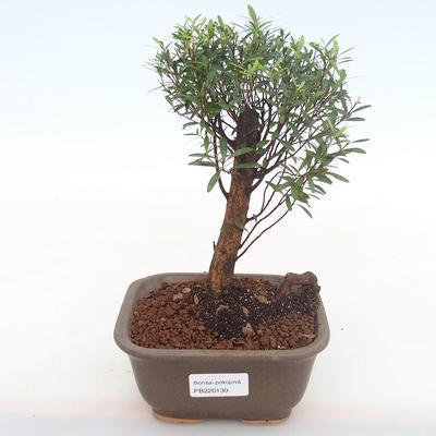 Indoor bonsai - Syzygium - Pimentovník PB220130 - 1