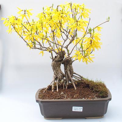 Outdoor bonsai - Zlatice - Forsythia intermedia Week End - 1