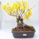 Outdoor bonsai - Zlatice - Forsythia intermedia Week End - 1/3