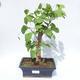 Outdoor bonsai - Ginkgo biloba - 1/4
