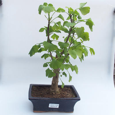 Outdoor bonsai - Ginkgo biloba - 1