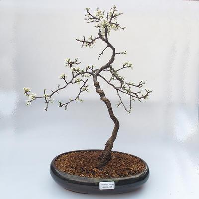 Outdoor bonsai - Prunus spinosa