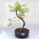 Outdoor bonsai -Pseudolarix amabis-Pamodrine - 1/3