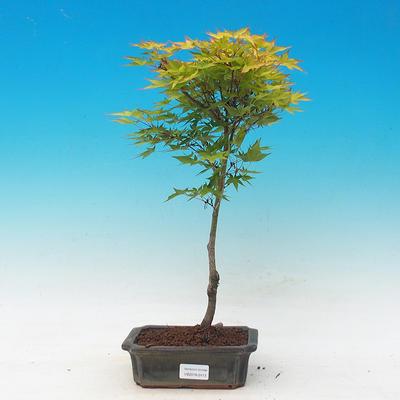 Acer palmatum Aureum - Maple dlanitolistý gold - 1