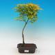 Acer palmatum Aureum - Maple dlanitolistý gold - 1/2