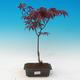 Outdoor bonsai - Acer palm. Atropurpureum-Maple dlanitolistý - 1/2
