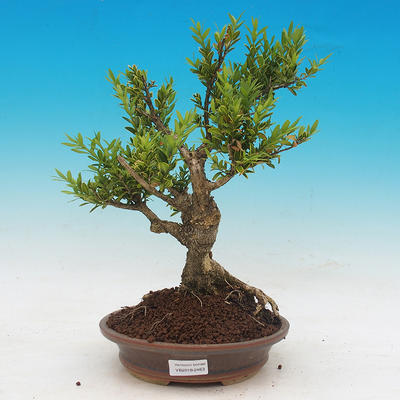 Outdoor bonsai - Buxus - 1