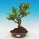 Outdoor bonsai - Buxus - 1/2