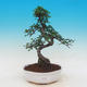 Room bonsai - Ulmus parvifolia - Malolistý elm - 1/3