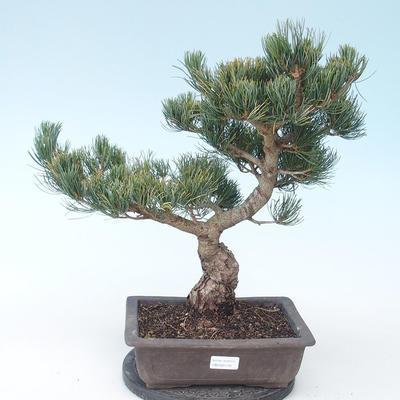 Pinus parviflora - Small-flowered Pine VB2020-130 - 1