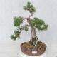 Outdoor bonsai - Pinus Mugo - Kneeling Pine - 1/5