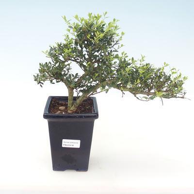 Indoor bonsai - Ilex crenata - Holly PB220438