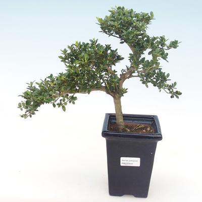 Indoor bonsai - Ilex crenata - Holly PB220441