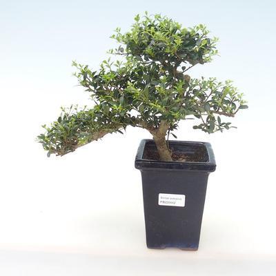 Indoor bonsai - Ilex crenata - Holly PB220442