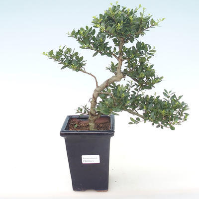 Indoor bonsai - Ilex crenata - Holly PB220443