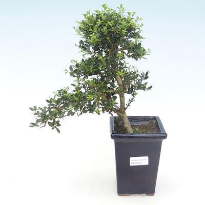 Indoor bonsai - Ilex crenata - Holly PB220444