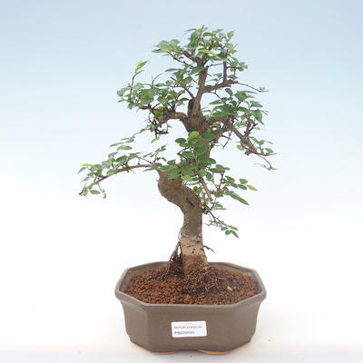 Indoor bonsai - Ulmus parvifolia - Small leaf elm PB220445 - 1