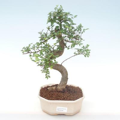 Indoor bonsai - Ulmus parvifolia - Small leaf elm PB220446 - 1