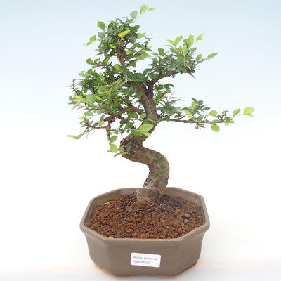 Indoor bonsai - Ulmus parvifolia - Small leaf elm PB220450 - 1