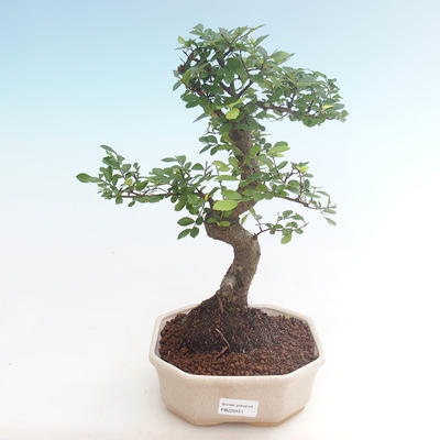 Indoor bonsai - Ulmus parvifolia - Small leaf elm PB220451 - 1