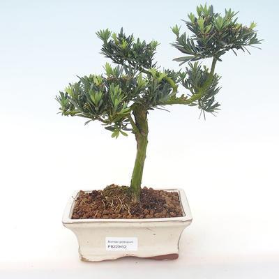 Indoor bonsai - Podocarpus - Stone yew PB220452