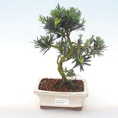 Indoor bonsai - Podocarpus - Stone yew PB220453