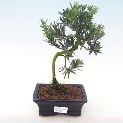 Indoor bonsai - Podocarpus - Stone yew PB220454