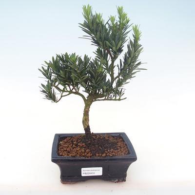 Indoor bonsai - Podocarpus - Stone yew PB220455