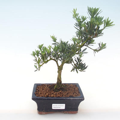 Indoor bonsai - Podocarpus - Stone yew PB220456