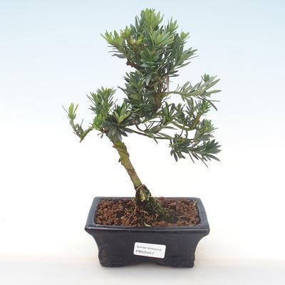 Indoor bonsai - Podocarpus - Stone yew PB220457