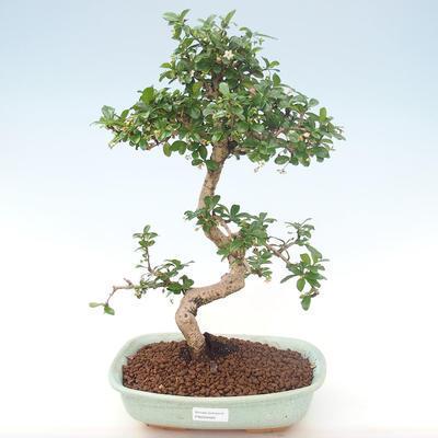 Indoor bonsai - Carmona macrophylla - Tea fuki PB220465 - 1