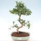 Indoor bonsai - Carmona macrophylla - Tea fuki PB220465 - 1/5