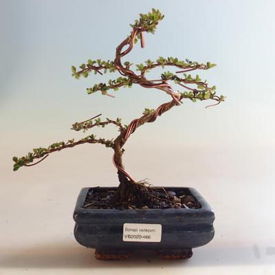 Outdoor bonsai-Cotoneaster horizontalis-Cotoneaster VB2020-466 - 1