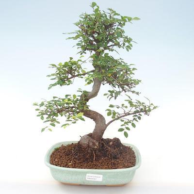 Indoor bonsai - Ulmus parvifolia - Small leaf elm PB220467 - 1