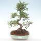 Indoor bonsai - Ulmus parvifolia - Small leaf elm PB220467 - 1/3