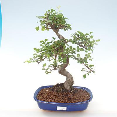Indoor bonsai - Ulmus parvifolia - Small leaf elm PB220468 - 1