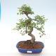 Indoor bonsai - Ulmus parvifolia - Small leaf elm PB220468 - 1/3