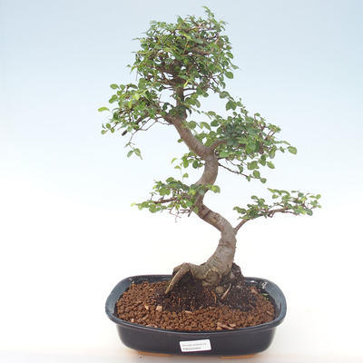 Indoor bonsai - Ulmus parvifolia - Small leaf elm PB220469 - 1