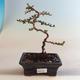 Outdoor bonsai-Cotoneaster horizontalis-Cotoneaster VB2020-461 - 1/2