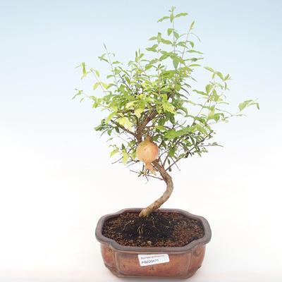 Indoor bonsai-PUNICA granatum nana-Pomegranate PB220471 - 1