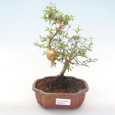 Indoor bonsai-PUNICA granatum nana-Pomegranate PB220475 - 1