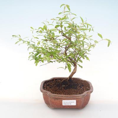 Indoor bonsai-PUNICA granatum nana-Pomegranate PB220476 - 1