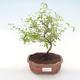 Indoor bonsai-PUNICA granatum nana-Pomegranate PB220476 - 1/3