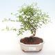 Indoor bonsai-PUNICA granatum nana-Pomegranate PB220477 - 1/3